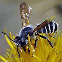 Leafcutting Bee, Megachile sp. - Megachile - male
