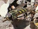 Syrphus opinator? - Eupeodes fumipennis - male
