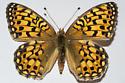 Speyeria callippe gallatini - Speyeria callippe - female