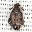 Pea and Bean Weevil - Merobruchus insolitus
