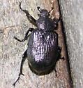 Beetle - Osmoderma scabra