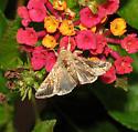 Metallic moth - Chrysodeixis includens
