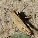 Camouflaged Grasshopper - Dissosteira carolina