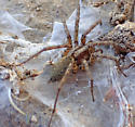 Another Calilena female - Calilena - female