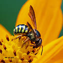 Bee or wasp - Dianthidium curvatum