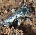 Small Bee under bark - Lasioglossum coeruleum