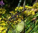 Ichneumonidae? - Ammophila