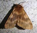Tiger Moth - Neoarctia beanii