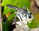 Ammophila pictipennis - Ammophila procera