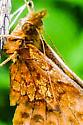 Small butterfly - Boloria bellona