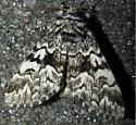 Black Zigzag Moth - Panthea acronyctoides