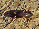 Id help needed click beetle - Dircaea liturata