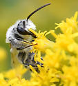 long-horned bee - Colletes