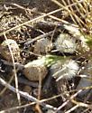 Dasymutilla sp. female - Dasymutilla sackenii - female