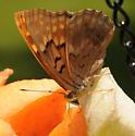 Fritillary? - Asterocampa clyton - female