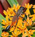 Thread -Waisted Wasp - Ammophila procera - female