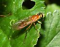 unidentified Diptera - Ptecticus trivittatus