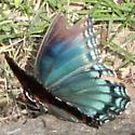 Red-spotted Purple - Lateral - Limenitis arthemis
