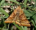 Clover Looper Moth - Caenurgina crassiuscula - Caenurgina crassiuscula