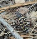 longhorn beetle - Megacheuma brevipenne