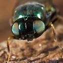 Very Green Fly - Microchrysa polita - female