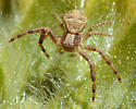 Xysticus spiderling? - Xysticus