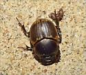 Gazelle Scarab? - Digitonthophagus gazella - female