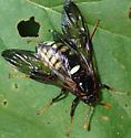 Sawfly - Cimbex americana - female