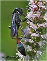 Thread Waisted Wasp - Ammophila nigricans