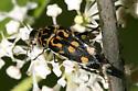 Tumbling Flower Beetle - Hoshihananomia octopunctata