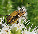 Longhorned Beetles? - Chauliognathus pensylvanicus - male - female