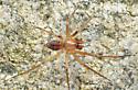 Linyphiid - Tenuiphantes zibus - male