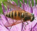 Fly47 - Stonemyia