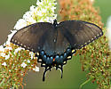 Butterfly - Black Form of Eastern Tiger Swallowtail? - Papilio glaucus
