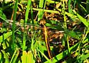 Dragonfly - Libellula - female