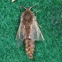 Bagworm Moth for ID 2 - Thyridopteryx ephemeraeformis - male