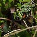 Digger - Bombus balteatus - female