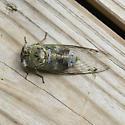 Cicada - Megatibicen auletes