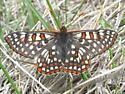 Euphydryas anicia bernadetta - Euphydryas anicia - male