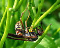 Paper wasp species - Polistes fuscatus