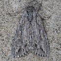 Rhizagrotis albalis