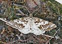 Moth Possibly of Genus Eufidonia - Eufidonia discospilata