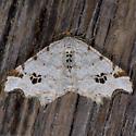 Birch Angle - Macaria notata