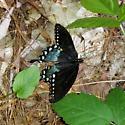 Spicebush Swallowtail (Papilio troilus) ? - Papilio troilus - male