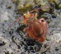 Dicyrtoma possibly-undescribed: back - Ptenothrix undescribed