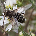 Gray-patterned drone fly - Eristalis dimidiata