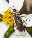 Plant Bug ? - Dysdercus mimulus
