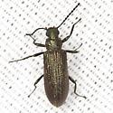 Darkling Beetle  - Strongylium crenatum