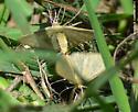 Glittery Moth -- No ID - Pleuroprucha - male - female