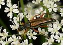 Flower Longhorn490 - Analeptura lineola